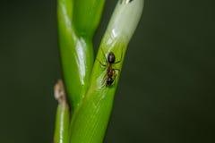 Camminata della formica Fotografie Stock