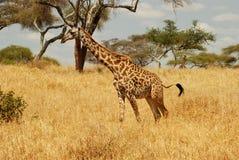 Camminata della giraffa Fotografia Stock