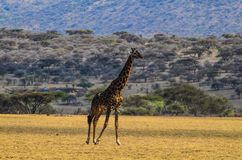 Camminata della giraffa Immagini Stock Libere da Diritti