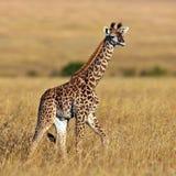 Camminata della giraffa del bambino sulla savanna al tramonto Fotografia Stock