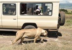 Camminata della leonessa Fotografia Stock Libera da Diritti