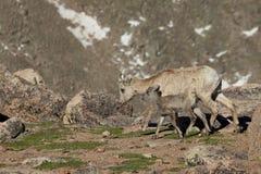 Camminata della pecora e dell'agnello del Bighorn Fotografie Stock Libere da Diritti