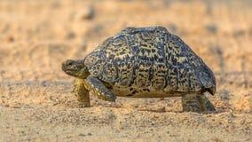 Camminata della tartaruga del leopardo fotografia stock libera da diritti