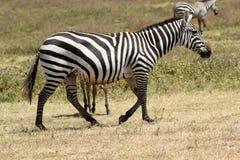 Camminata della zebra comune Immagine Stock