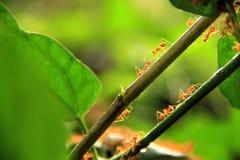 Camminata delle formiche Immagine Stock