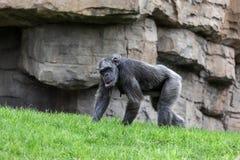 Camminata dello scimpanzè Immagini Stock Libere da Diritti