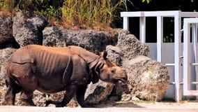 Camminata di rinoceronte immagine stock libera da diritti