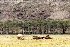 Camminata di rinoceronte Fotografie Stock Libere da Diritti