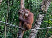 Camminata di Tightrope dell'orangutan Immagini Stock Libere da Diritti