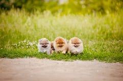 Camminata di tre una piccola cuccioli di Pomeranian Immagini Stock Libere da Diritti