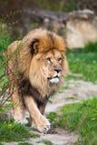 Camminata maestosa del leone Fotografia Stock