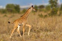 Camminata masai del vitello della giraffa Immagine Stock