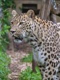 Camminata maschio del leopardo dal recinto Immagine Stock Libera da Diritti