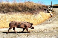 Camminata selvaggia del maiale fotografie stock