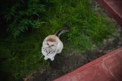 Camminata siamese del gatto domestico dell'animale domestico animale felino all'aperto su erba verde Immagini Stock