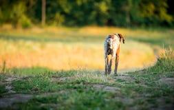 Camminata sola del cane fotografia stock