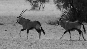 Camminata sudafricana del Gemsbok due Immagine Stock Libera da Diritti