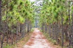 Cammini e vada in bicicletta il parco nazionale di Phukradung dell'abetaia di spirito di modo, Fotografia Stock Libera da Diritti