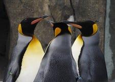 Cammini ondeggiando dei pinguini di imperatore immagine stock libera da diritti