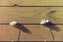 2 cammomile цветка Стоковые Изображения RF