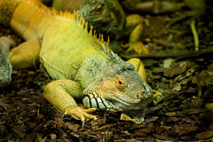 Cammon Green Iguana Royalty Free Stock Photo