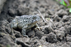 Cammouflaged Garden Toad. Well cammouflaged common toad in garden Royalty Free Stock Image