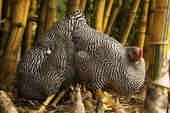 Cammuffamento del pollo Immagini Stock