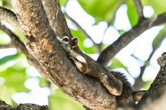 Cammuffamento dello scoiattolo con l'albero Fotografia Stock