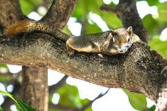 Cammuffamento dello scoiattolo con l'albero Fotografie Stock