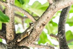 Cammuffamento dello scoiattolo con l'albero Immagine Stock