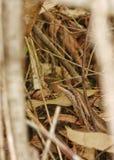 Cammuffamento di Skink dell'albero Immagini Stock
