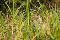 Cammuffamento: Occhi selvaggi di Jaguar che scrutano attraverso l'erba alta Fotografia Stock