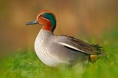 Camnon小野鸭,语录crecca,与生锈的头的好的鸭子,在绿草 在水附近的春天鸟 从自然的野生生物场面 双翼飞机 库存图片