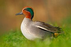 Free Camnon Teal, Anas Crecca, Nice Duck With Rusty Head, In Green Grass. Spring Bird Near The Water. Wildlife Scene From Nature. Bird Stock Image - 110445391