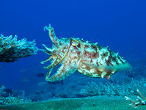 Camo Cuttle Stock Images