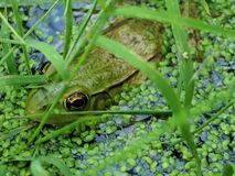 Camo-Frog Stock Images