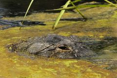 The Camo Gator. A local Florida gator tries to blend in with the camo waters stock images