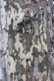 Camo style tree bark. Camoflouge style tree bark shows the fine details Stock Image