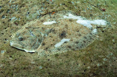Camoflage flounder underwater Royalty Free Stock Photos