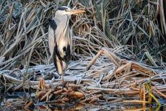 Camoflage Grey Heron no inverno fotografia de stock