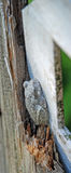 Camoflague Toad. A perfectly white and gray frog camouflaged against a white wooden surface Royalty Free Stock Photo