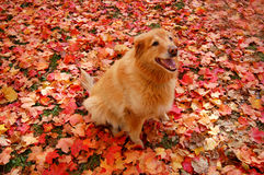 Camoflauge Dog. Golden Retriever mix in colorful autumn leaves Royalty Free Stock Photography
