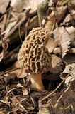 Camouflage morel Stock Images