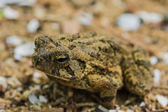 Camoflauge Toad. A toad camouflaged into the ground around him thinks that he is not spotted, allowing the camera to get very close indeed Royalty Free Stock Image