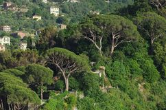 Camogli Pine Stock Photography