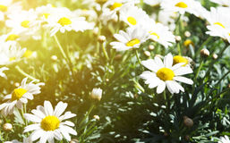 Camomil que cresce no campo do verão, nas flores do verão, na mola ou no s Fotografia de Stock