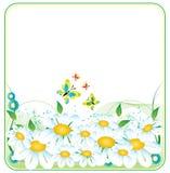 Camomila Imagens de Stock