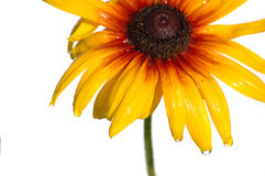 Camomila amarela Imagens de Stock Royalty Free