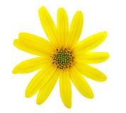 Camomila amarela bonita Imagens de Stock
