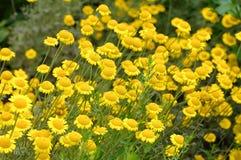 Camomila amarela, um wildflower imagem de stock royalty free